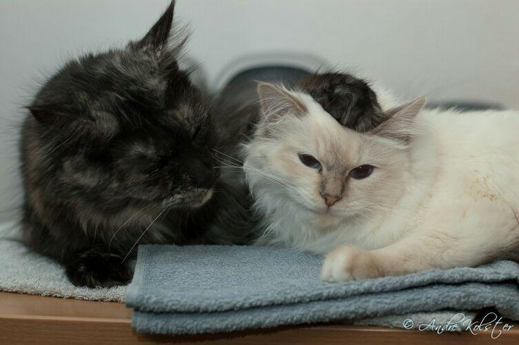 Katzenfreundschaft  -  Cira (Maine-Coon) & Daisy (Heilige Birma / Sacred Birman)