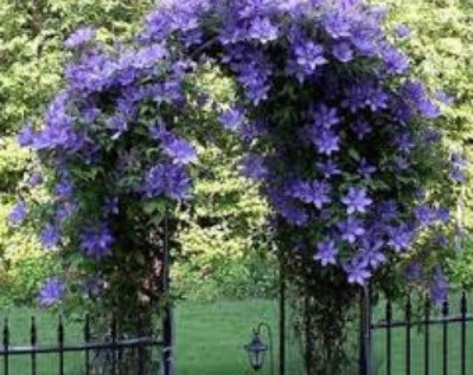 Garden Flower Vines Collection Of Seeds 11 Varieties In All Gift Packaged All Annual Vines Some Perennia In 2020 Climbing Flowers Flowering Vines Flowers Perennials