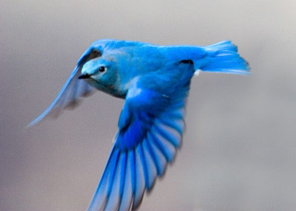 the blue bird, symbol of quest for happiness | Time for a ...
