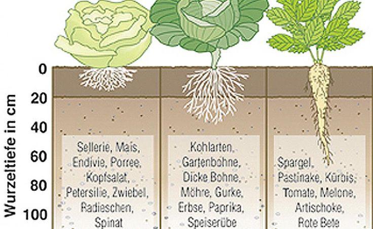 Gemüse richtig gießen -  Nicht jedes Gemüse braucht viel Wasser!. Je nachdem, ob es sich um Flach- oder Tiefwurzler handelt, haben die Pflanzen ganz unterschiedliche Bedürfnisse. Hier erfahren Sie, welches Gemüse zu welcher Gruppe zählt und wie Sie am besten gießen.
