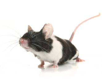 Why do mice make good pets? Mice are interesting animals which respond well to human companionship, making them excellent pets – they love climbing through your fingers and sitting on your shoulder!