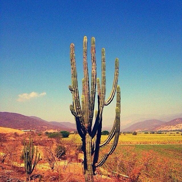 Cactus by @mustangmemorink
