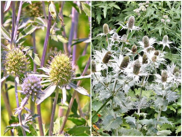 Growing Spiky, Quirky Sea Holly Plants (Eryngium): How to Grow Sea Holly (Eryngium)