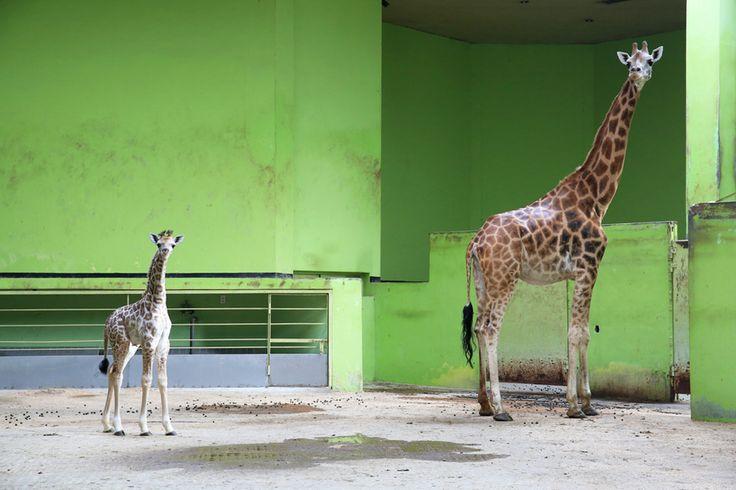 지난 7월 9일. 서울대공원내 서울동물원 제1아프리카관에선 8년 만에 수컷 기린(이름: 엘사)이 탄생하는 경사를 맞이했다. 더욱 뜻 깊은 것은 이번에 출산한 암컷 기린(이름: 환희, 2007년생)이 8년 전 서울동물원에서 태어난 개체이기 때문이다. 서울대공원은 '삼복더위에 태어나 더위에 지치지 말고 건강하게 자라라'는 의미로 영화 '겨울왕국'의 주인공 이름을 따 새끼 기린의 이름을 엘사라고 지었다고 23일 밝혔다. 서울대공원 제공
