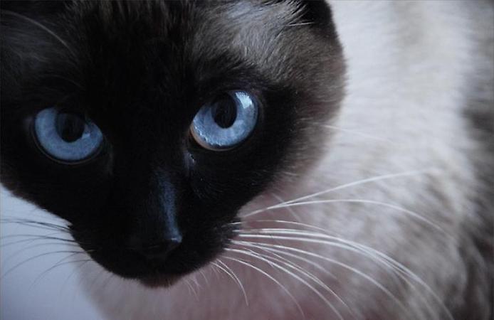 Blue eyes ,black nose