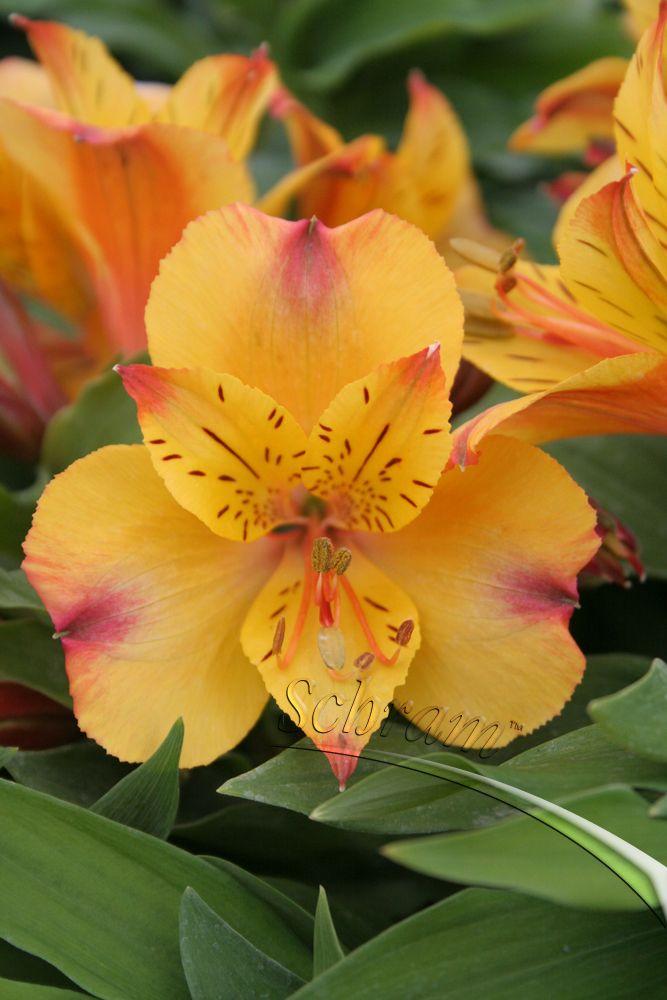 Peruvian Lily (Alstroemeria) 'Princess Arianne'