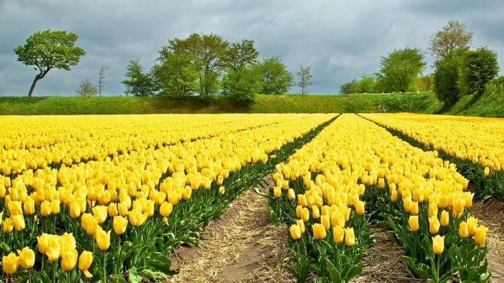 Yellow Tulips Field Wallpaper