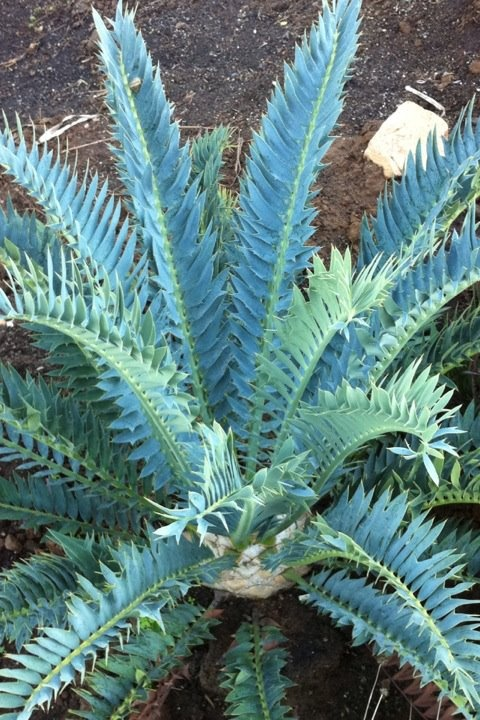 arenarius x horridus cycad willowbrook nursery