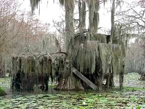 Duck blind on Caddo Lake Uncertain Texas.  On the day duck season begins at dawn, it sounds like the beginning of WWII on the Lake