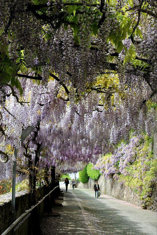 wisteria tunnel, Vevey, Switzerland