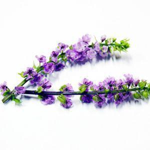 「穂じそ」は紫蘇(しそ)の若芽で、熟成しない実をつけたもの。「束穂」とも呼びます。 花が開き始めたものが「花穂」になります。 紫蘇の花穂(かすい)であり、葉はもちろん大葉です。赤紫蘇の若芽は「ムラ芽・赤芽」と言って、これもあしらいに使用します。花は食用でもありますので、刺身醤油に花を擦って落とし、刺身と一緒に食べます。 栽培にて年中出回っていますが、季節的には春~夏。しかし夏が旬の大葉と同じく、もはや年中あたりまえに売っている「通年のあしらい」となってますし、それでも違和感のない添えの定番ですから、もう「季節もの」と言えないかも知れません。