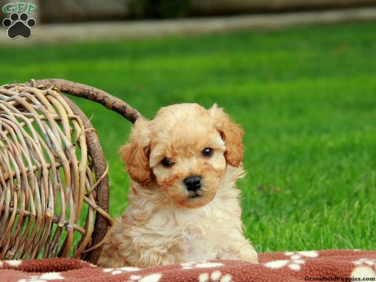 Finley, a sweet Toy Poodle puppy for sale in PA