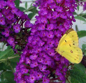 The 'Nanho Purple' Buddleia Plant produces a butterfly-friendly, fragrant, pretty lavender-purple flower spikes with dark bluish-green foliage with a silver underlay. This vigorously growing butterfly bush attracts oodles of butterflies and hummers and tends to be more compactly leafed than other varieties. It makes an exceptional cut flower for your tall vases or a background plant for low-growing perennials. Each 3-inch pot contains one Nanho Purple Buddleia Plant. Sold Out