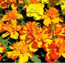 Marigolds (Tagetes) repel snakes and mosquitoes - I will be planting these all over at the lake this year! I hate snakes REALLY hate them!!