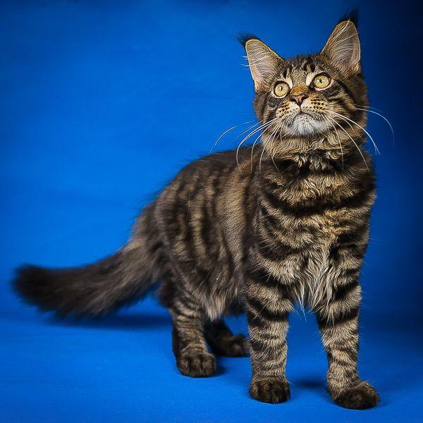 Мейн Кун вторые по размерам коты.