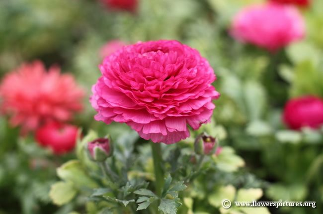 Ranunculus flower pictures