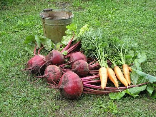 Чтобы свекла и морковь были сладкими | Дачники