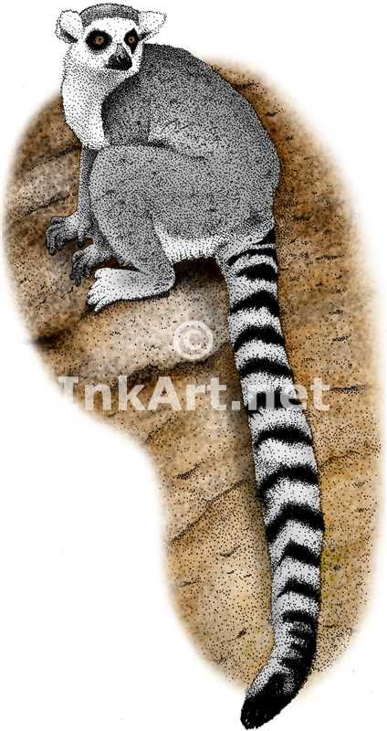 Pen and ink line art drawing of a Ringtailed Lemur (Lemur catta)