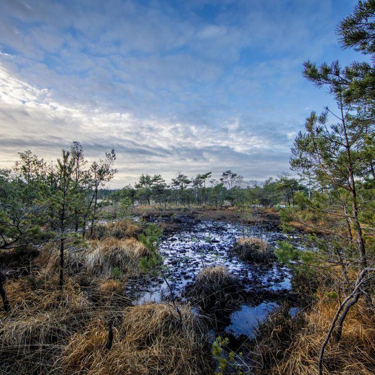 Bild 27 - Zadlitzbruch in der Dübener Heide bei Torgau | © Michael Eichhorn #zadlitzbruch #dübener_heide #naturschutzgebiet #sachsen #saxony #ausflugsziel #torf #moor #hochmoor #wandern #dübenerheide #duebenerheide #torgau #baddueben #baddüben #wald #sumpf #sumpfgebiet #natur #naturschutz #reservat #biosphäre #biosphere #farn #naturpark #falkenberg #trossin #dresden #nordsachsen #leipzig #sehenswürdigkeit #ziel #sonnentau #sumpfdotterblume #kranich