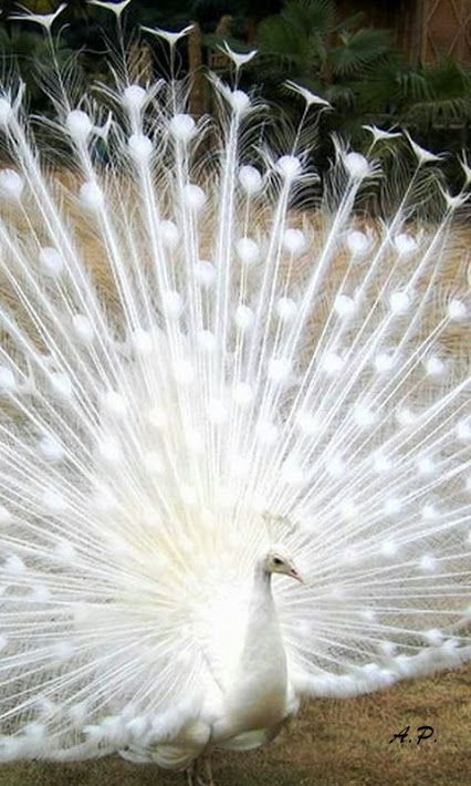 Wonderful show of white peacock feathers.