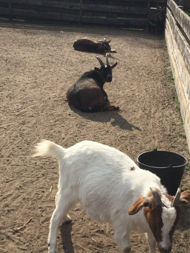 Ziegen Im Freigehege Noch So Ne Mutti Haustiere Kaufen Ziege Wilde Tiere