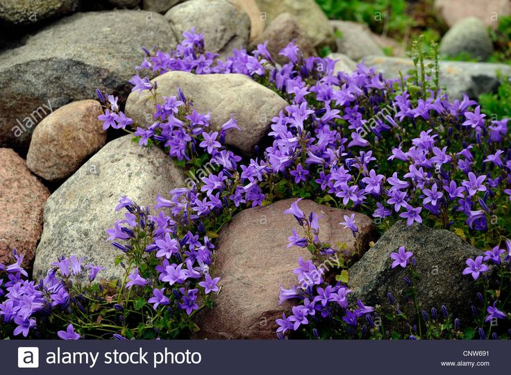 Bellflower (campanula Spec.), Rock Garden With Bellflower Stock ...