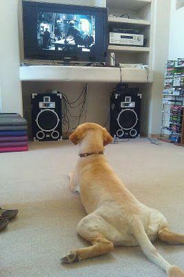 De certeza que já pegou o seu cachorro assistindo tv alguma vez! #animais #cachorros #pets #cães
