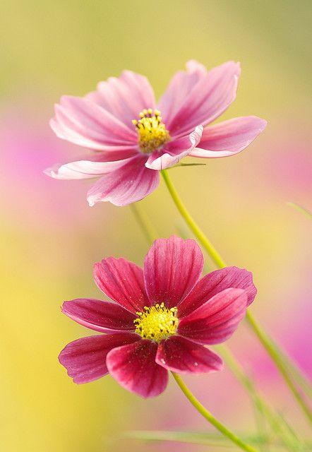 Soft Pastel Cosmos Flowers