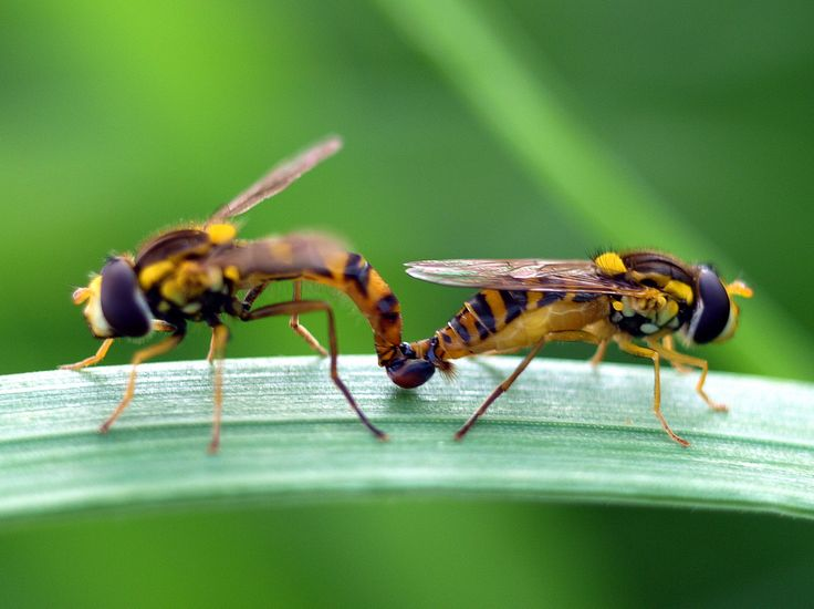 sírfidos en cópula (el sexo está en el aire) | Flickr - Photo Sharing!