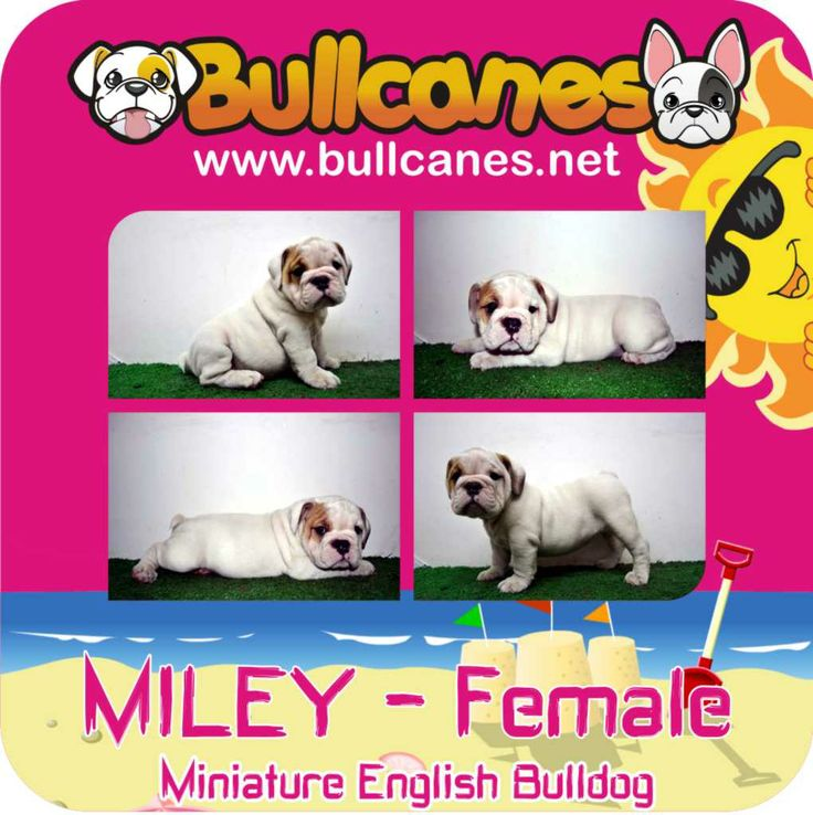 MILEY MINIATURE ENGLISH BULLDOG PUPPIES http://www.bullcanes.net / ceo@bullcanes.net / Facebook: bullcanes1@hotmail.com / instagram: @BULLCANES Bulldog puppies for Sale / Twiter: bullcanes1 / YouTube: Bullcanes Bulldog Kennel