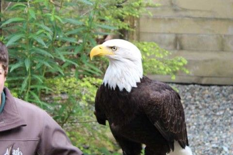 Bald Eagle (Ketchikan) - Gallery | Cruise Tour Escapes