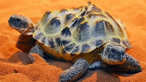 Een Siamese tweeling schildpad.