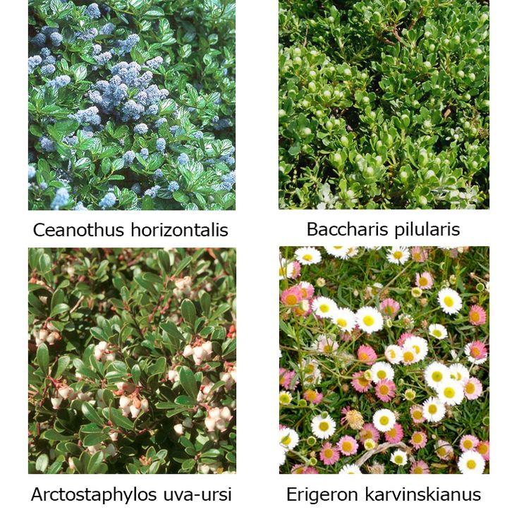 1000 ideas about drought tolerant grass on pinterest drought tolerant landscape drought - Drought tolerant grass varieties ...