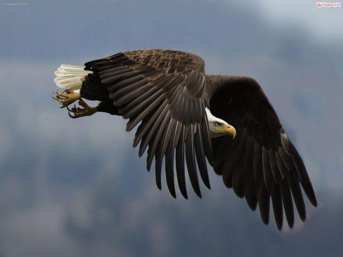 Águila Real. Aquila chrysaetos. El Águila Real (Aquila chrysaetos) es natural de todo el hemisferio Norte. La encontramos en casi toda América del Norte, Europa, Asia y el norte de África. Las que anidan al extremo norte son migratorias, el resto... - hugo6774