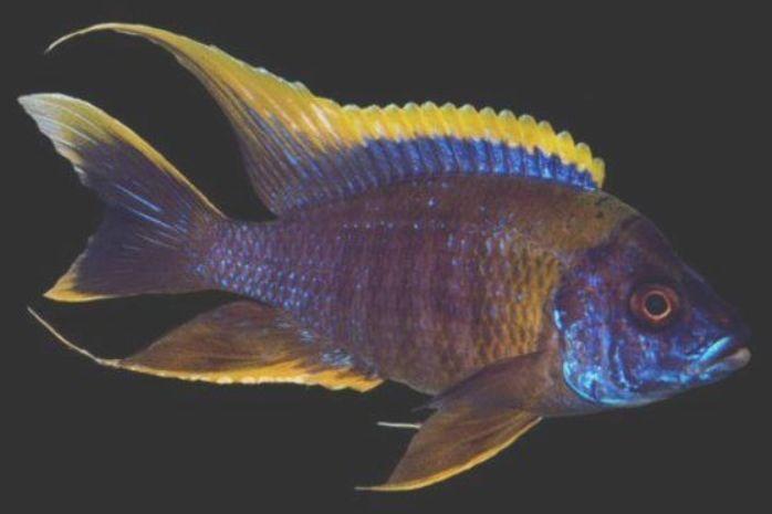 Red Top Peacock Lake Malawi African Cichlids Smiths Aquarium Lake Malawi Cichlids Aquarium Fish Aquarium Fish Tank
