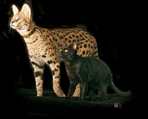 Savannah Cat ~ just a bit larger than your average cat! He's a house cat and I bet very expensive.