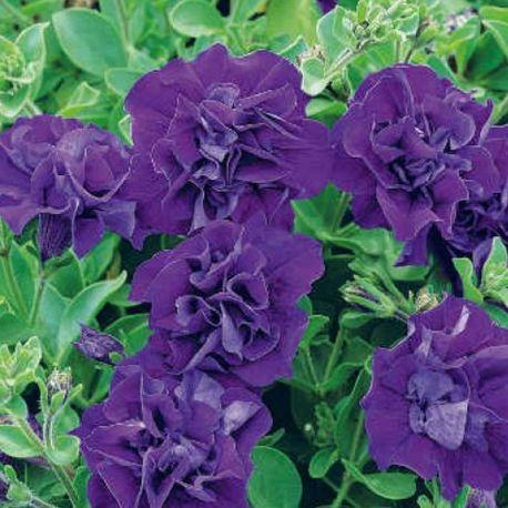 25 best ideas about plantes violettes sur pinterest fleurs color es. Black Bedroom Furniture Sets. Home Design Ideas