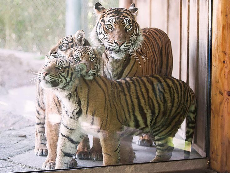 Tiger Cub Triplets Make Debut at Washington Zoo http://www.peoplepets.com/people/pets/article/0,,20934459,00.html