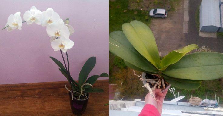 Orchidey sú milované inenávidené. Počujete dobre. Je veľa ľudí, ktorí orchidey znejakého nevysvetliteľného dôvodu neznášajú. Nevedia však povedať prečo. Pestovali ich doma acítili sa zle. Dlho nevedeli prísť príčinu, až kým orchidey znejakého dôvodu nevyhodili. Apotom? Potom sa všetko zlepšilo. Orchidey dokážu na senzitívnych, teda ľudí citlivých predovšetkým na energie, svetlo, ale aj počasie, vplývať …