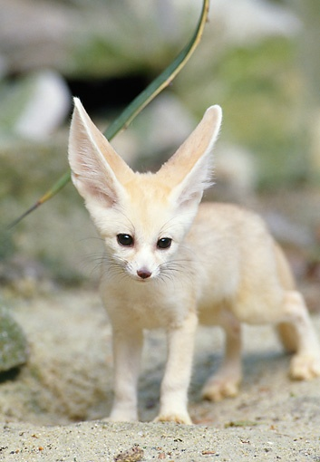 Fennec Fox...looking otherwordly