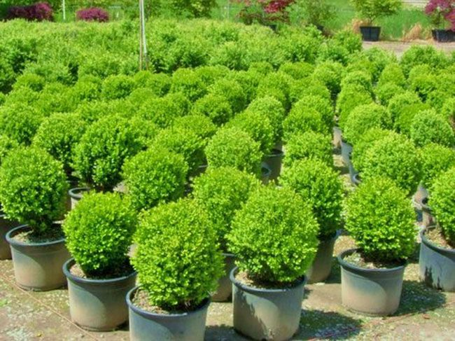american boxwood side of stairs