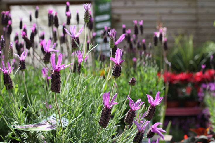 Lavandula s 'Ruffles Alexandra' - Flowers May to August, 60-80cm in 5 years, plant in a sunny position. www.thepavilion.ie