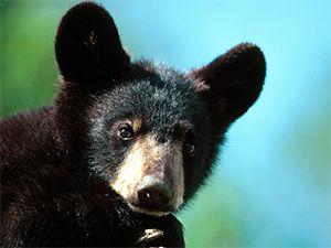 Fondo de Pantalla de cría de oso negro americano