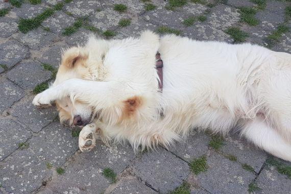 Pin Von M Hari Auf Pet Projects Pflege Hunde Hunde Herdenschutzhund
