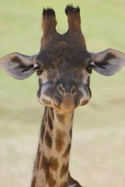 Bebê girafa com a boca cheia.
