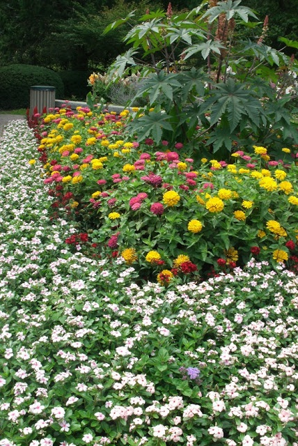 Catharanthus zinnia and castor bean bedding plants at for Garden design ideas toronto