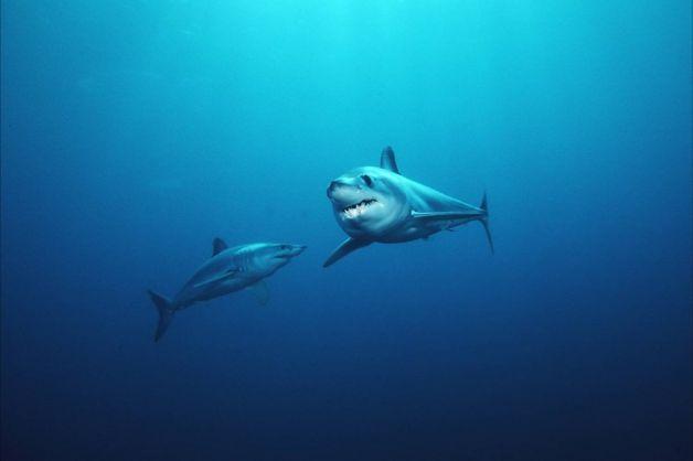 Salmon Mako Shark | Shortfin mako sharks - Shortfin mako sharks are tagged off the coast ...
