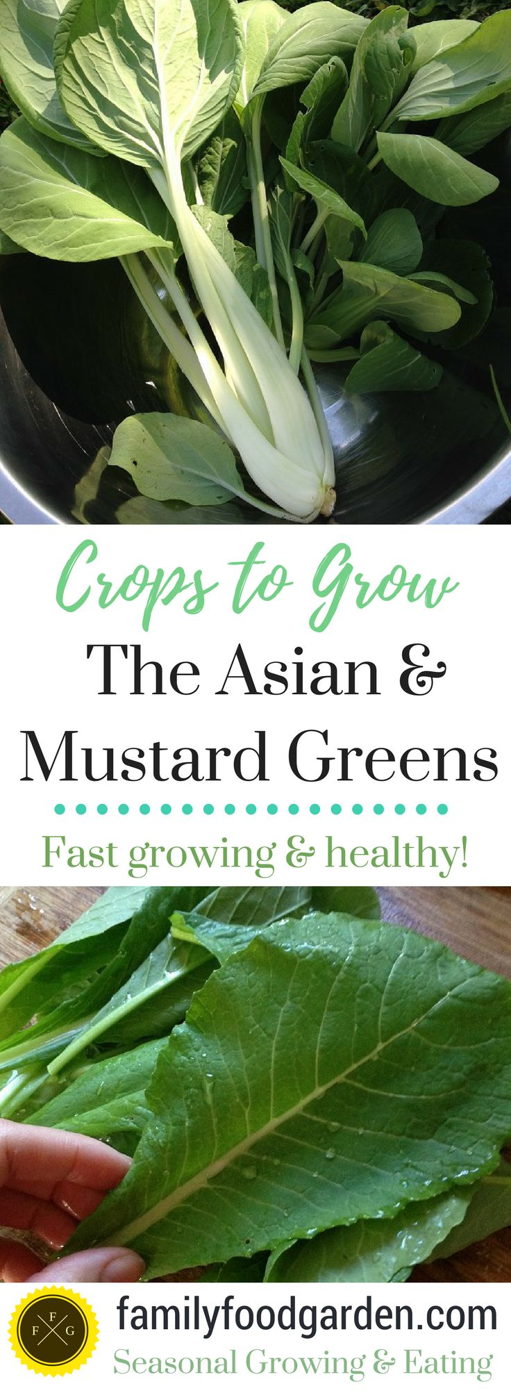 Oh I love fast-food! Fast garden food that is. Any veggies that we can eat within 30-45 days of harvesting is a huge bonus to home food production. Quick crops offer better yield per growing space and dollar value for your efforts.  Today I wanted to talk about 5 asian and mustards greens, that a