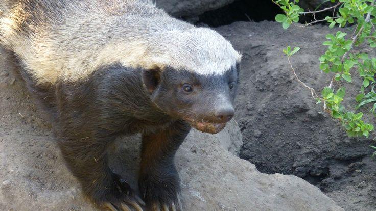 Stoffel the honey badger - Moholoholo Wildlife Rehabilitation Centre