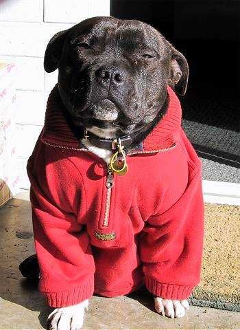 Staffordshire Bull Terrier Temperament: Affectionate, Intelligent, Courageous, Fearless, Bold, Reliable